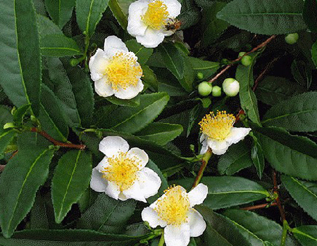 Camellia Sinensis- Tea and its Flowers