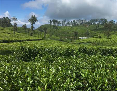 Some of the tea bushes in the Dambatenne plantations are more than 100 years old.