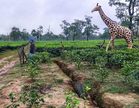 The life size giraffe models act as a psychological barier for the elephants.(HT photo/R Phukan)