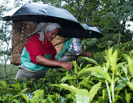Women pluck tea leaves at a plantation in Makaibari near Darjeeling.