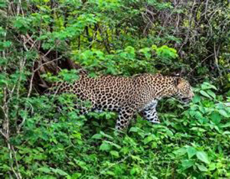 The Sri Lankan leopard (Panthera pardus kotiya) is a leopard subspecies native to Sri Lanka that was first described in 1956 by the Sri Lankan zoologist Deraniyagala. In 2008, the Sri Lankan leopard was listed as Endangered on the IUCN Red List. The wild population is roughly estimated at 700–950 individuals as of 2015.