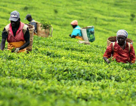 Workers at a tea estate in Kericho. file photo | nmg