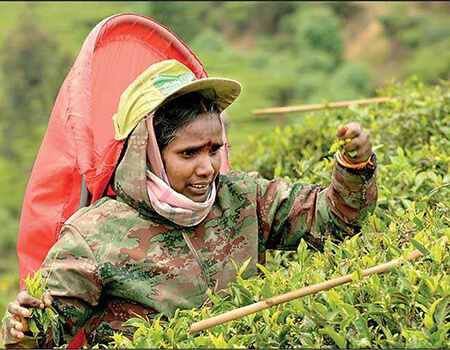 The recent activation of the Wages Board mechanism to give effect to the Rs. 1,000 daily wage of tea and rubber plantation workers is unprecedented – Pic by Shehan Gunasekara