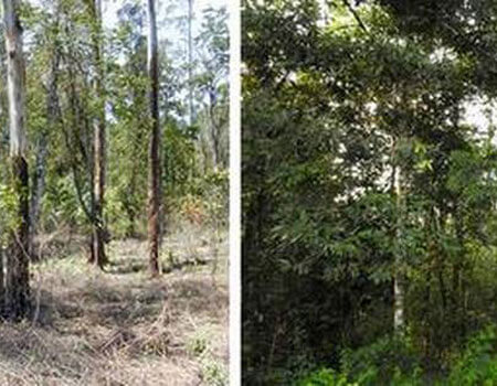 All in 14 years: A degraded fragment in the Anamalai Hills (left) with with invasive weeds removed in preparation for restoration planting in 2004, and the same site in 2018 (right) showing some recovery of rainforest trees.   | Photo Credit: NCF