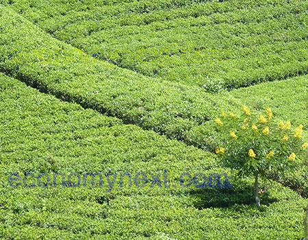 Tea prices have been falling at the Colombo Tea Auction as production increases and big buyers shift to cheaper alternatives. Source: File Pic.