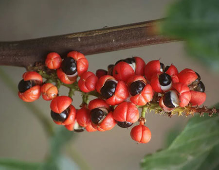 Guarana fruit extract is high in caffeine.