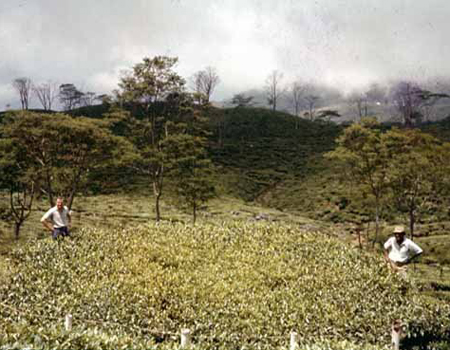 The Largest Tea Bush – Pitaratmalie Estate, circa 1962