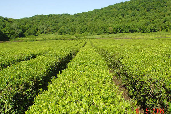 TEA STORY FROM THE LAND OF FIRE!