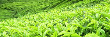 Tea Features