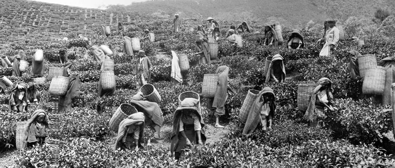 History of Ceylon Tea